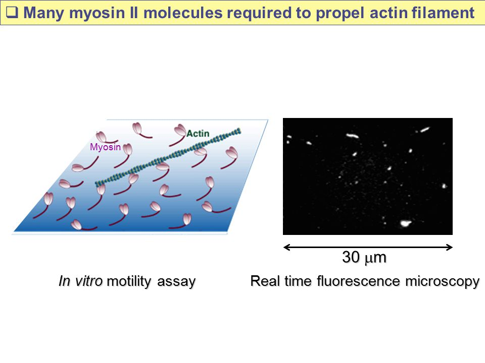 Many myosin II molecules required to propel actin filament