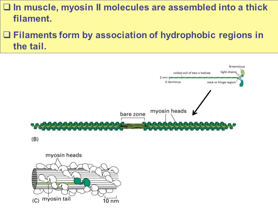 In muscle, myosin II molecules are assembled into a thick filament.