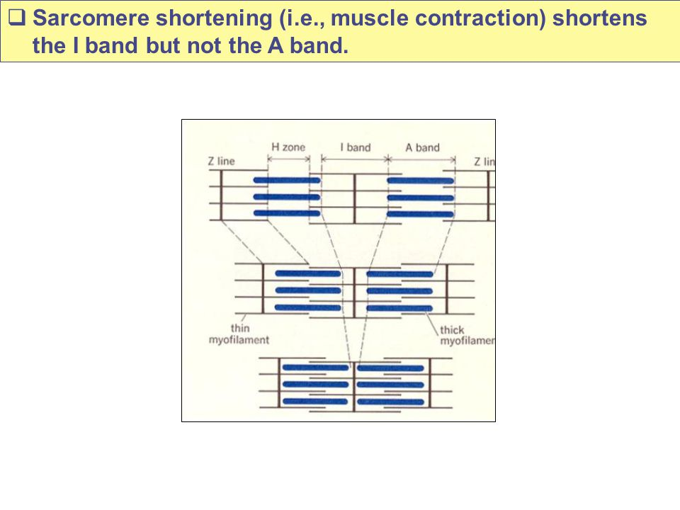 Sarcomere shortening (i. e