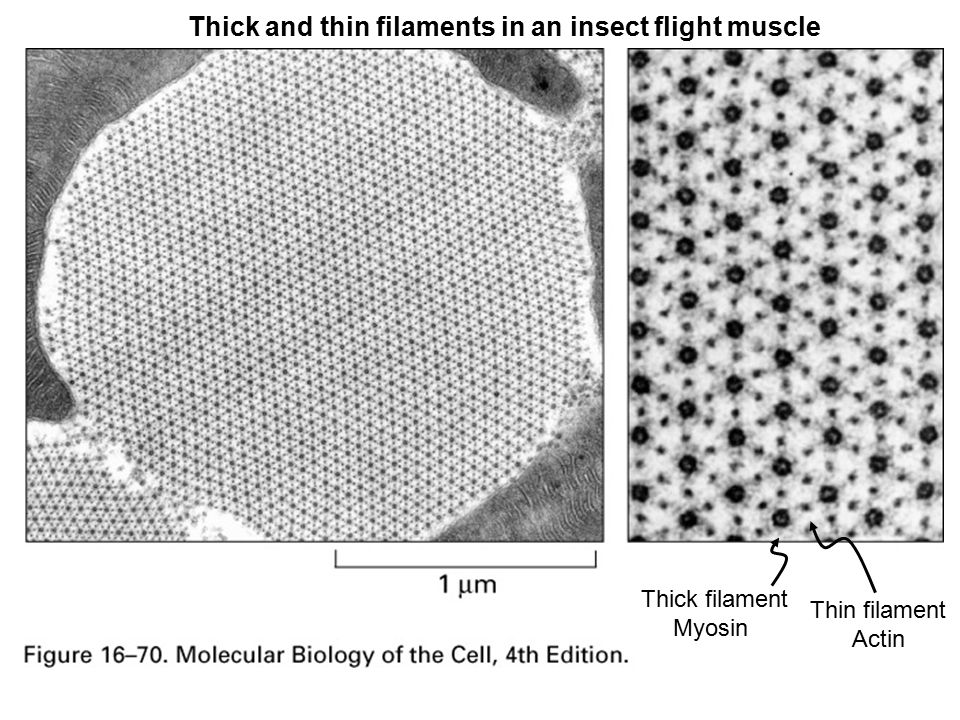 Thick and thin filaments in an insect flight muscle