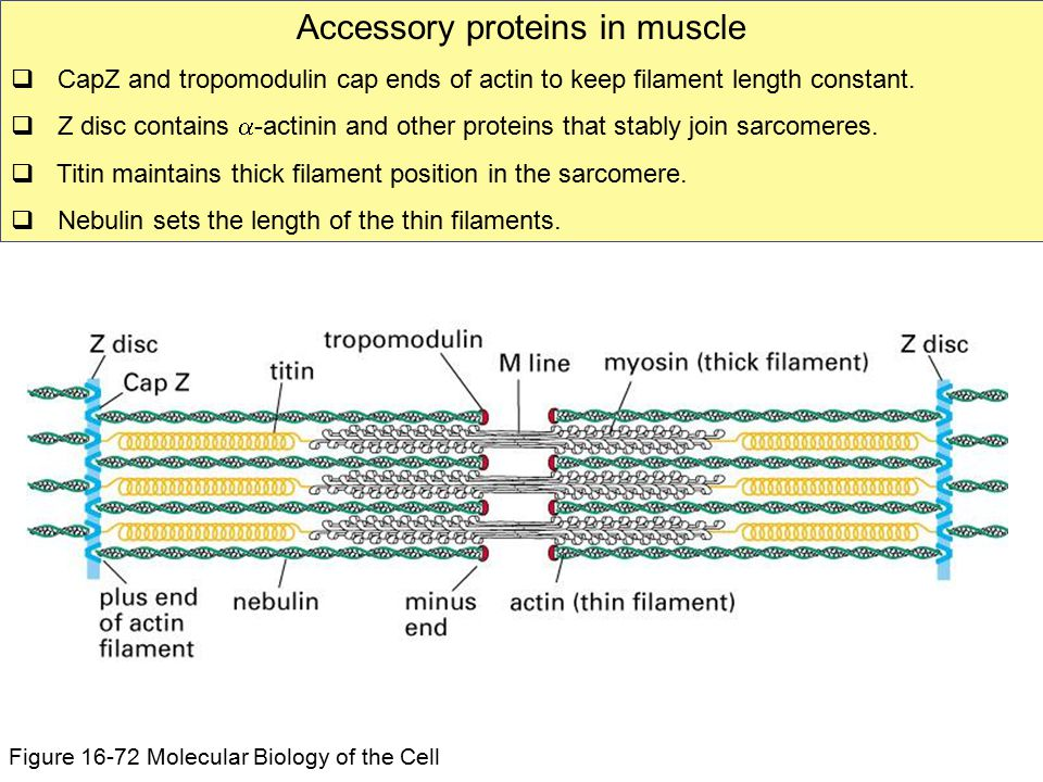 Accessory proteins in muscle