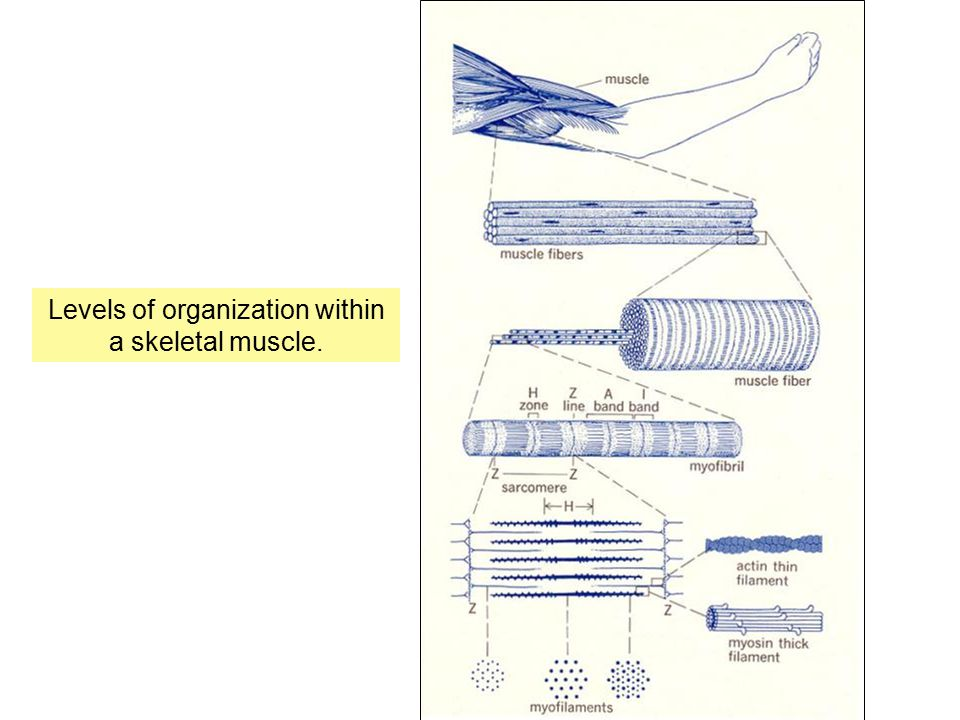Levels of organization within a skeletal muscle.