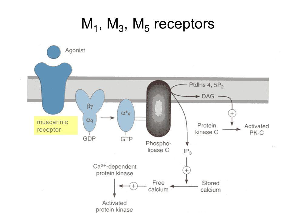 M1, M3, M5 receptors muscarinic receptor