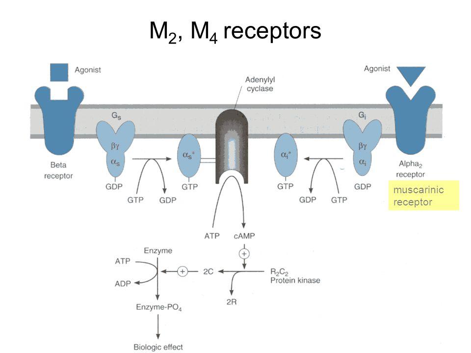 M2, M4 receptors muscarinic receptor