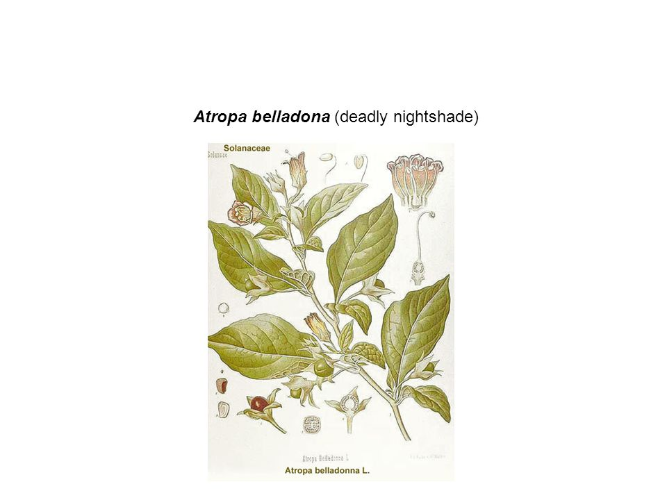 Atropa belladona (deadly nightshade)