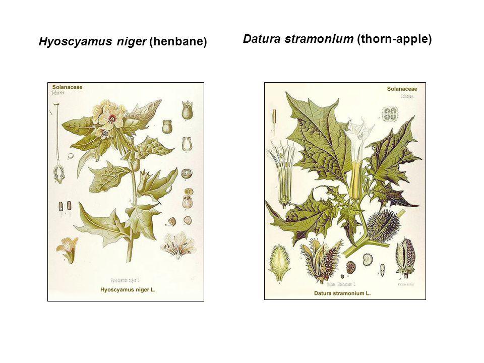 Hyoscyamus niger (henbane)
