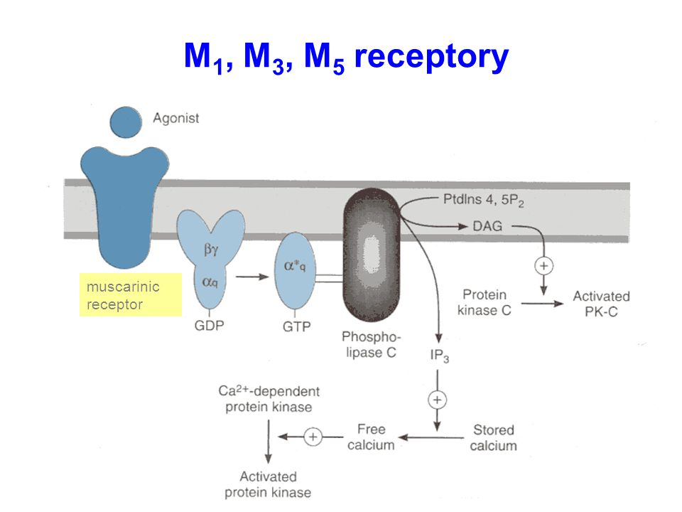 M1, M3, M5 receptory muscarinic receptor