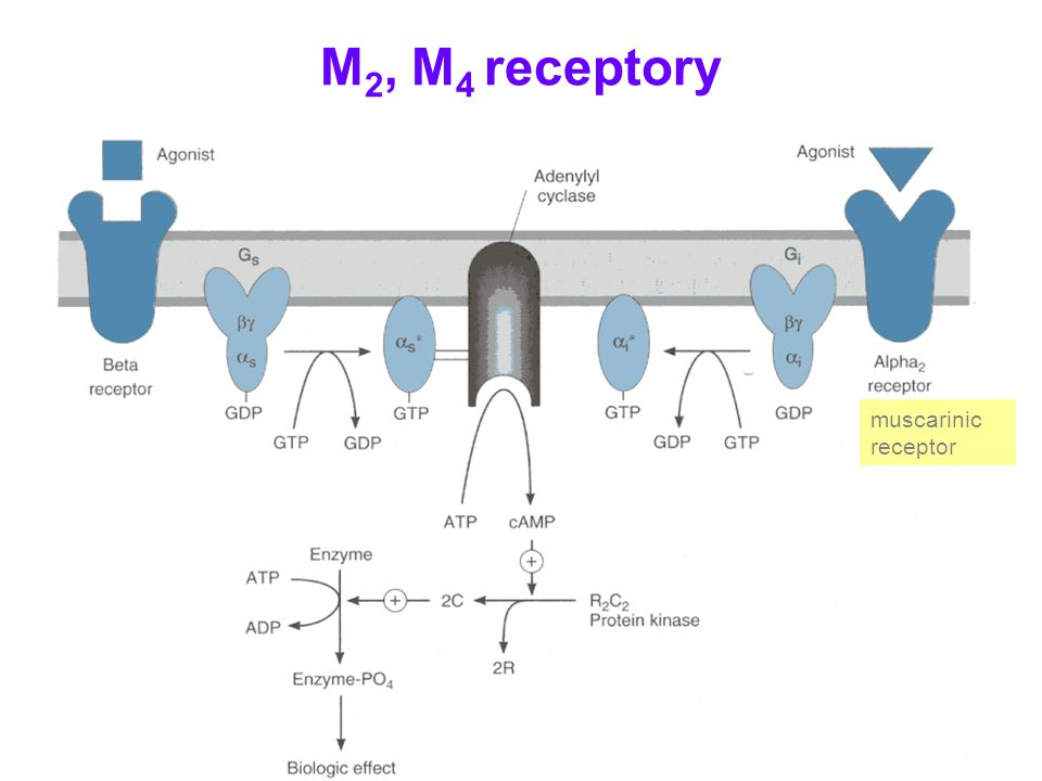 M2, M4 receptory muscarinic receptor
