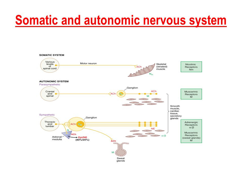 Somatic and autonomic nervous system