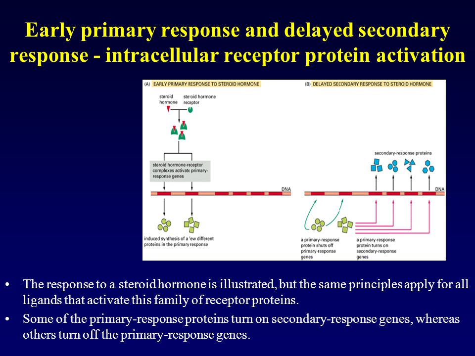 Early primary response and delayed secondary response - intracellular receptor protein activation