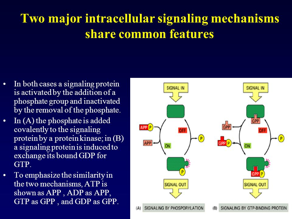 Two major intracellular signaling mechanisms share common features