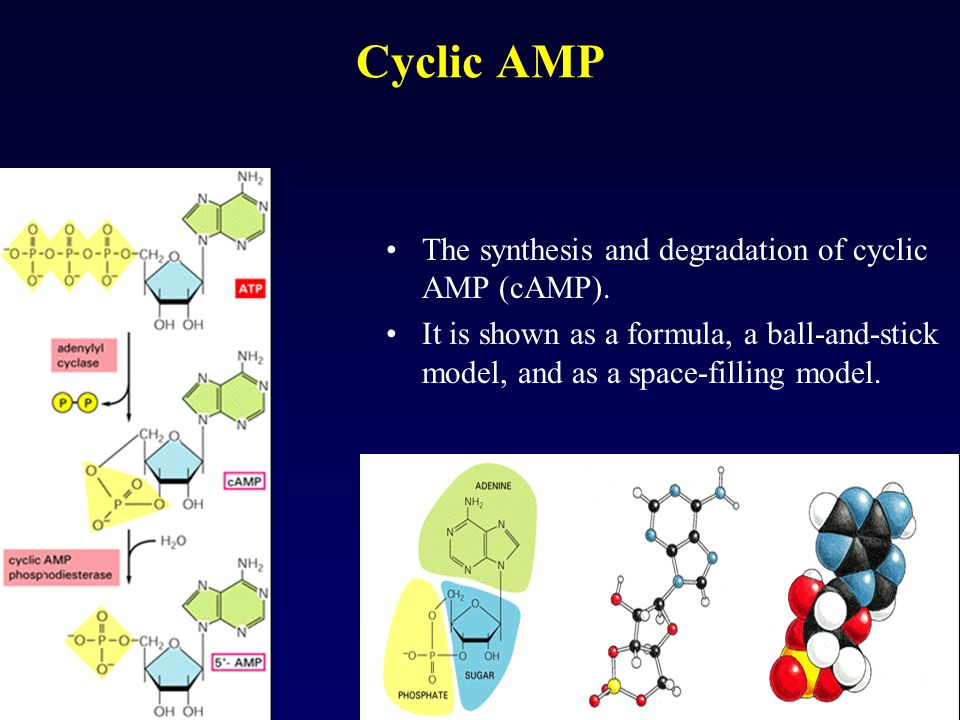 Cyclic AMP The synthesis and degradation of cyclic AMP (cAMP).