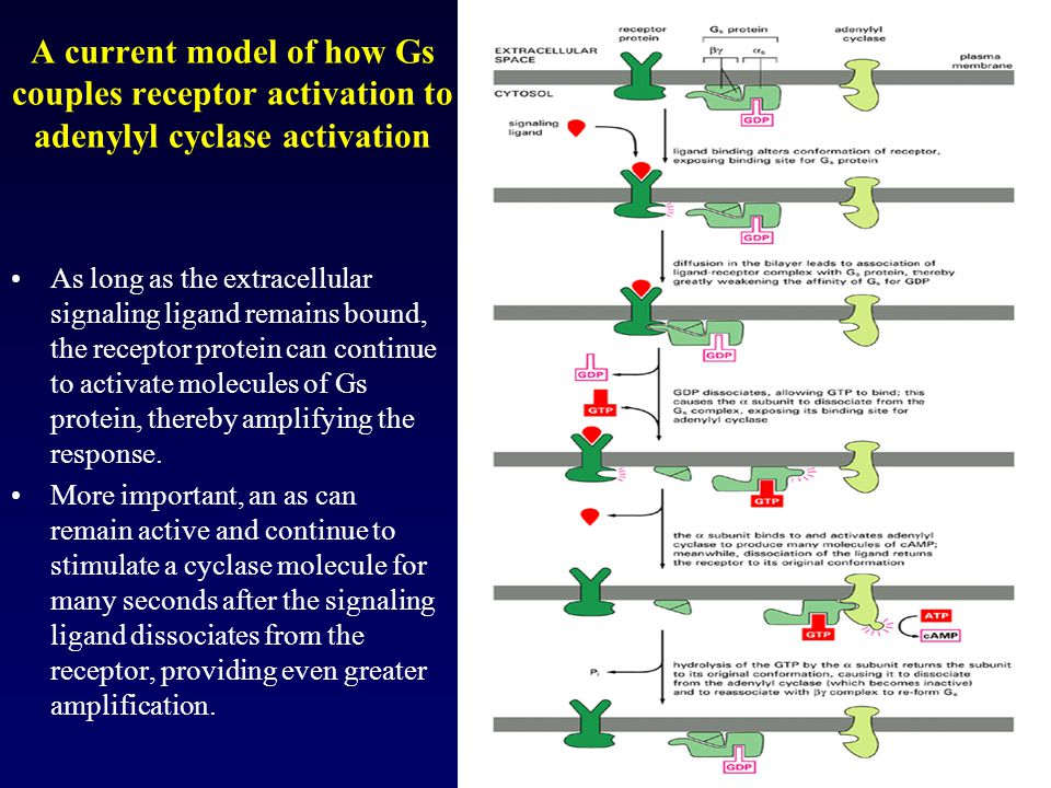 A current model of how Gs couples receptor activation to adenylyl cyclase activation