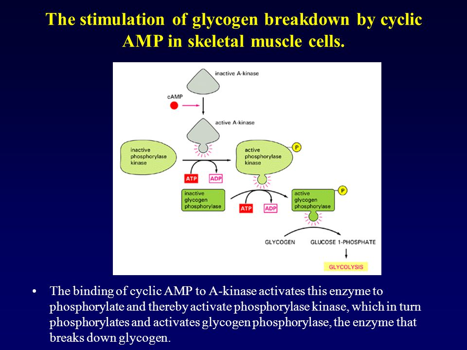 The stimulation of glycogen breakdown by cyclic AMP in skeletal muscle cells.