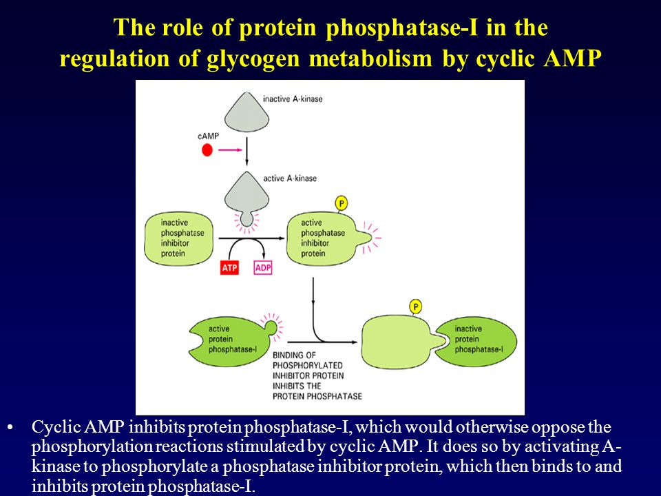 The role of protein phosphatase-I in the regulation of glycogen metabolism by cyclic AMP