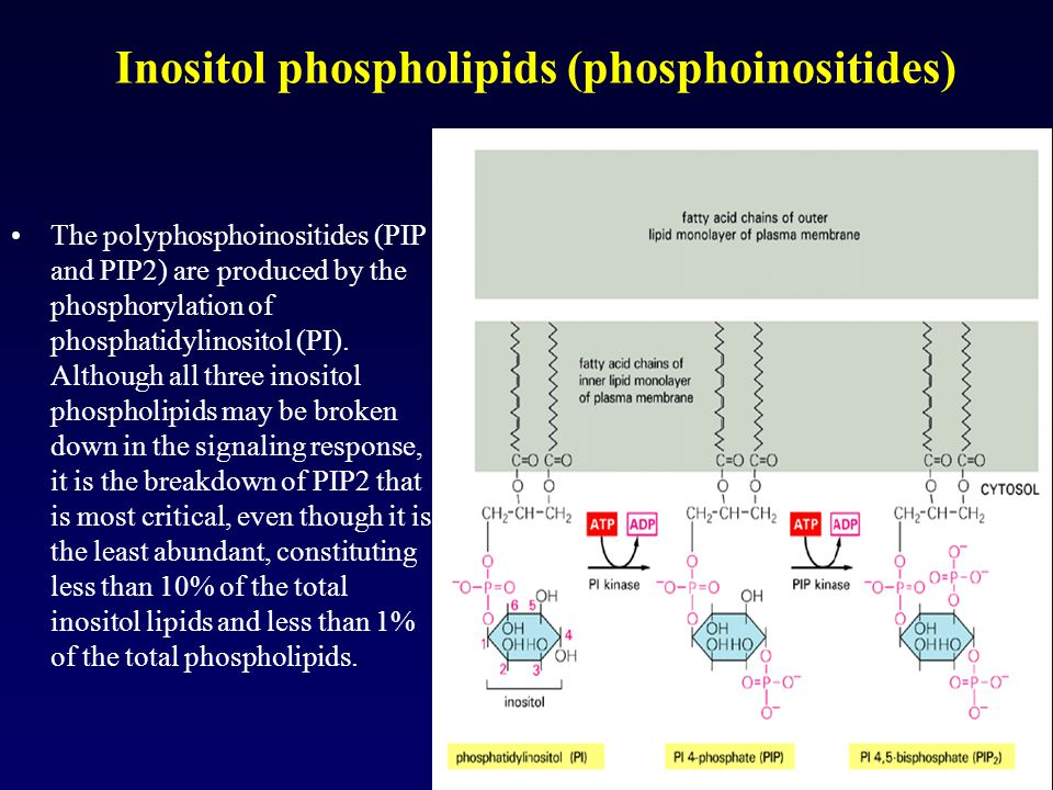 Inositol phospholipids (phosphoinositides)