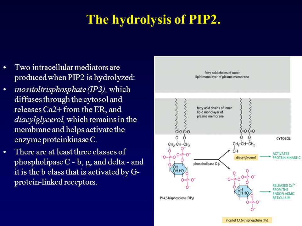 The hydrolysis of PIP2. Two intracellular mediators are produced when PIP2 is hydrolyzed: