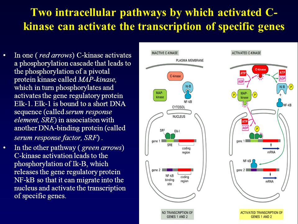 Two intracellular pathways by which activated C-kinase can activate the transcription of specific genes