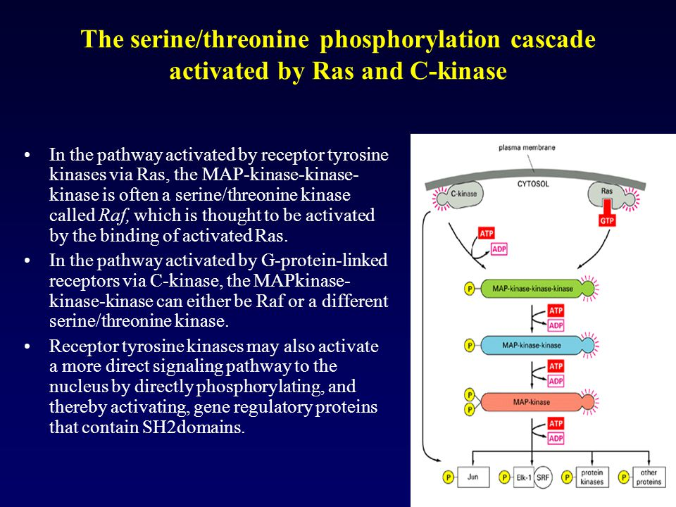 The serine/threonine phosphorylation cascade activated by Ras and C-kinase