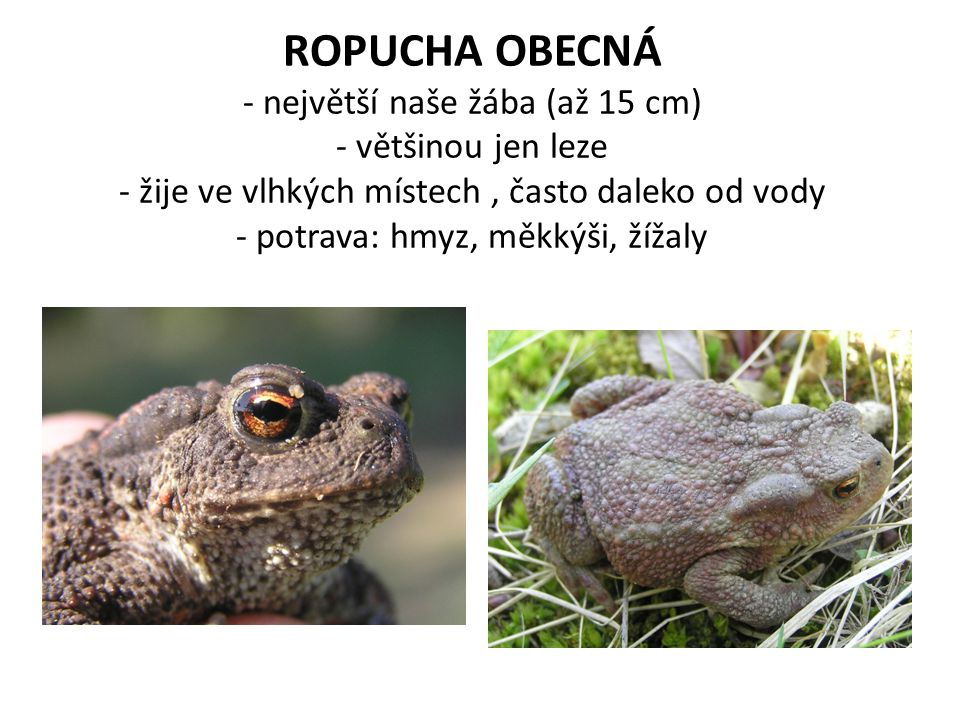 ROPUCHA OBECNÁ - největší naše žába (až 15 cm) - většinou jen leze - žije ve vlhkých místech , často daleko od vody - potrava: hmyz, měkkýši, žížaly