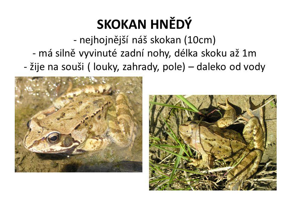 SKOKAN HNĚDÝ - nejhojnější náš skokan (10cm) - má silně vyvinuté zadní nohy, délka skoku až 1m - žije na souši ( louky, zahrady, pole) – daleko od vody