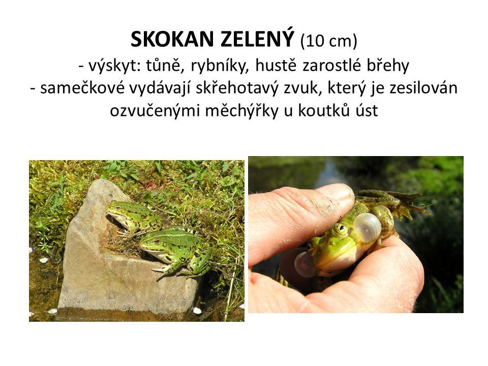 SKOKAN ZELENÝ (10 cm) - výskyt: tůně, rybníky, hustě zarostlé břehy - samečkové vydávají skřehotavý zvuk, který je zesilován ozvučenými měchýřky u koutků úst