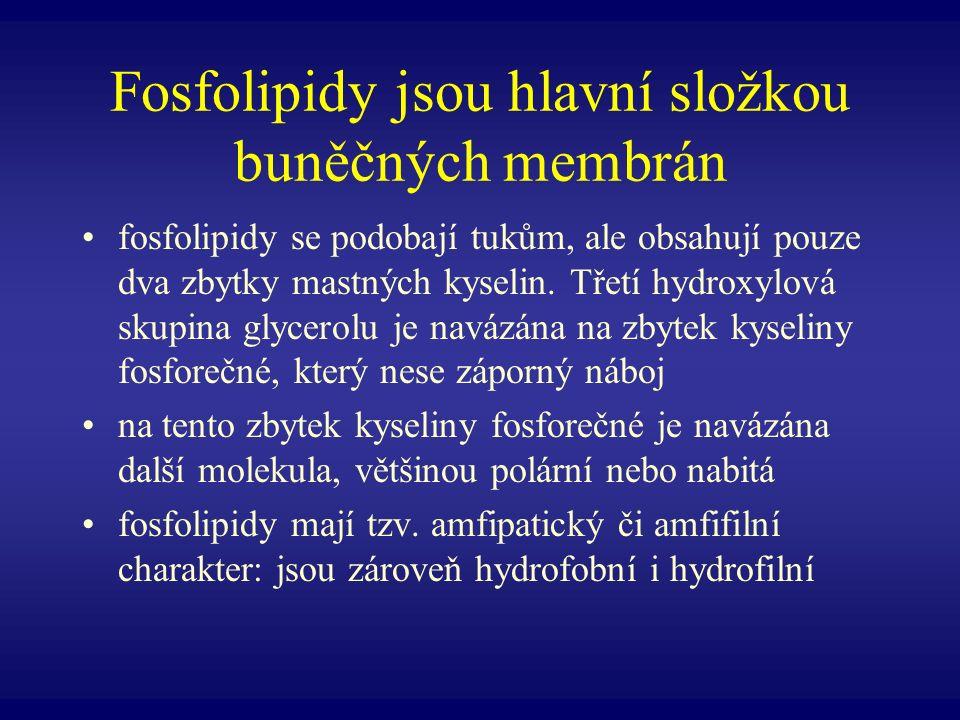 Fosfolipidy jsou hlavní složkou buněčných membrán