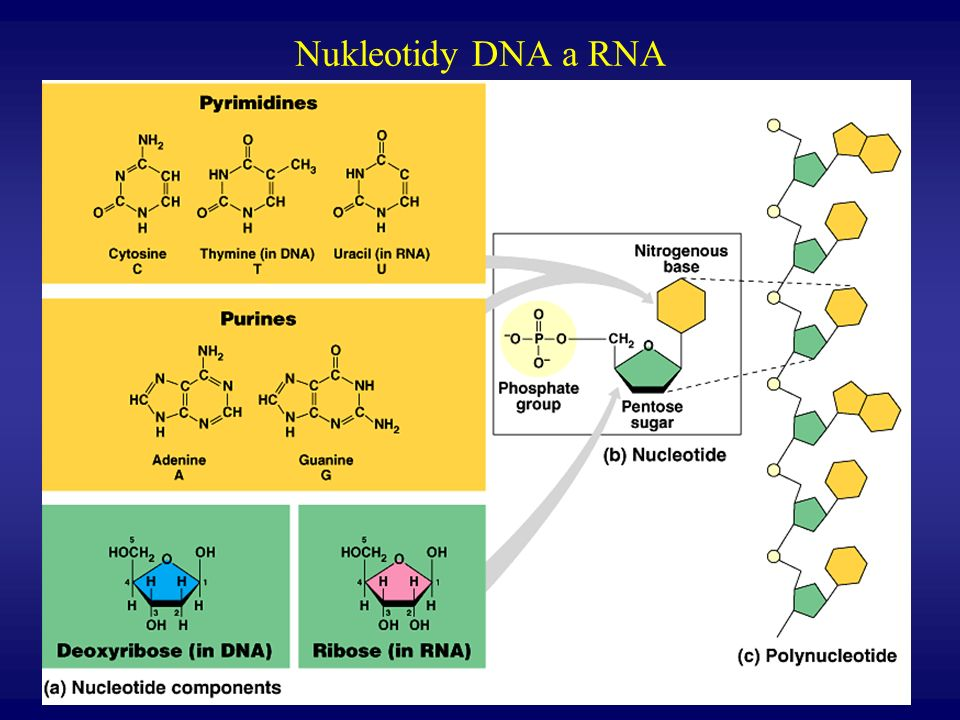 Nukleotidy DNA a RNA