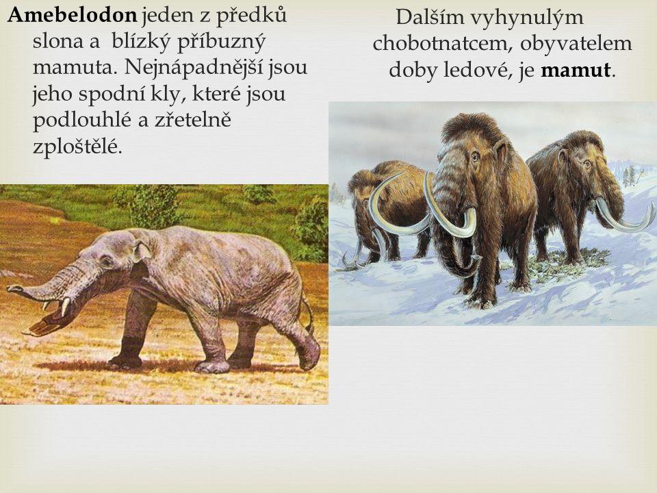 Dalším vyhynulým chobotnatcem, obyvatelem doby ledové, je mamut.