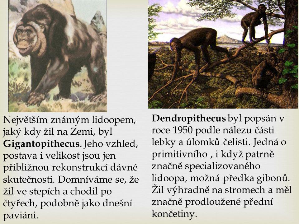Největším známým lidoopem, jaký kdy žil na Zemi, byl Gigantopithecus