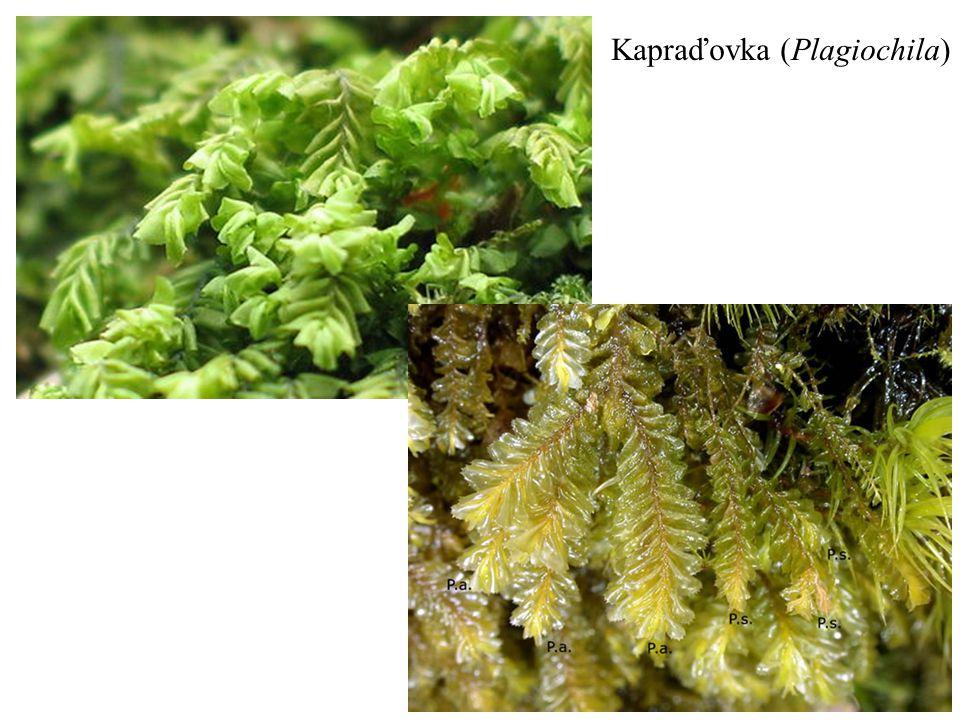 Kapraďovka (Plagiochila)