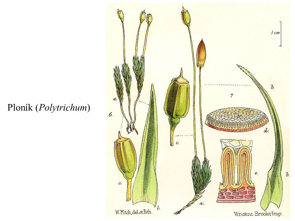 Ploník (Polytrichum)