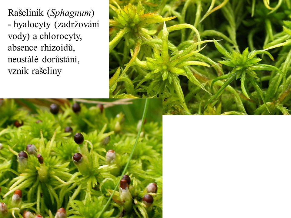 Rašeliník (Sphagnum) - hyalocyty (zadržování vody) a chlorocyty, absence rhizoidů, neustálé dorůstání, vznik rašeliny.