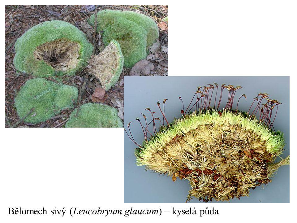 Bělomech sivý (Leucobryum glaucum) – kyselá půda