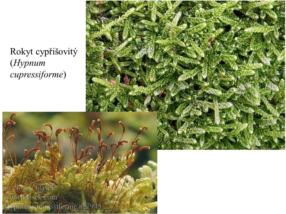 Rokyt cypřišovitý (Hypnum cupressiforme)