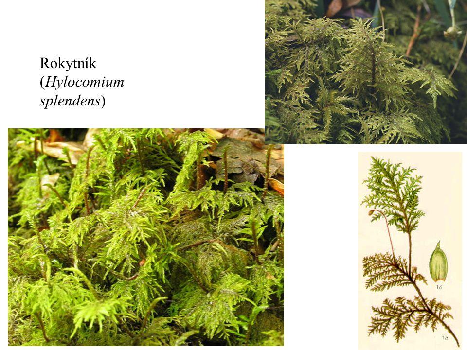 Rokytník (Hylocomium splendens)