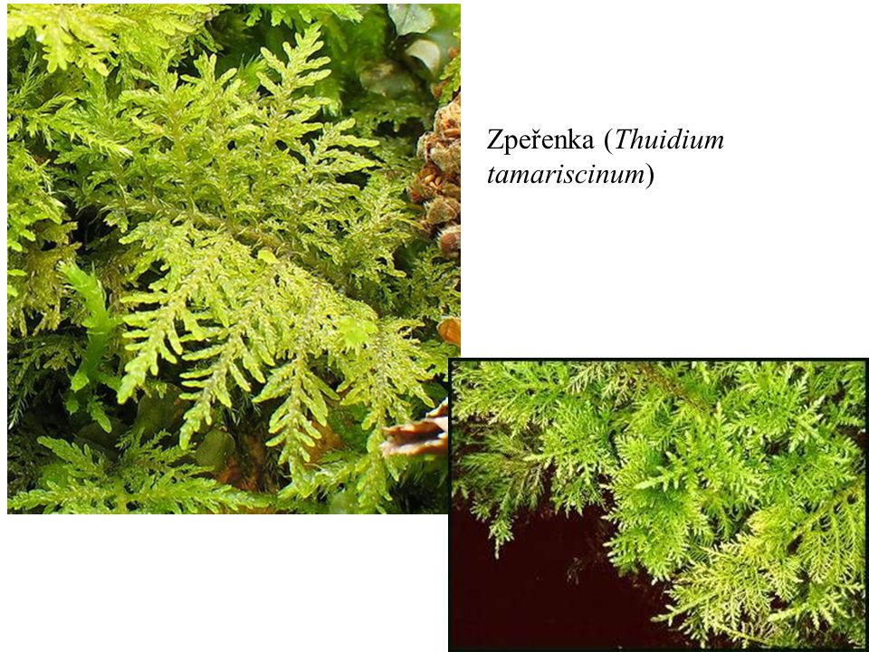 Zpeřenka (Thuidium tamariscinum)