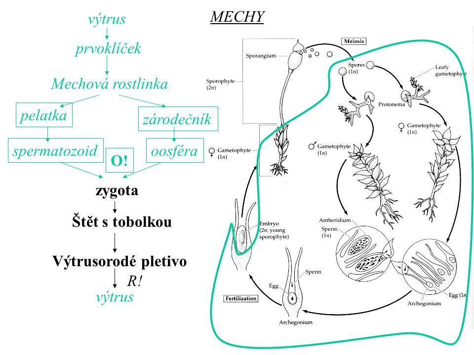 výtrus MECHY. prvoklíček. Mechová rostlinka. pelatka. zárodečník. spermatozoid. oosféra. O! zygota.