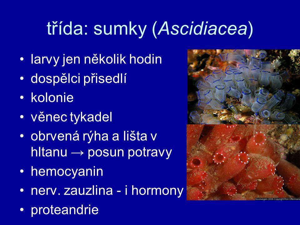 třída: sumky (Ascidiacea)