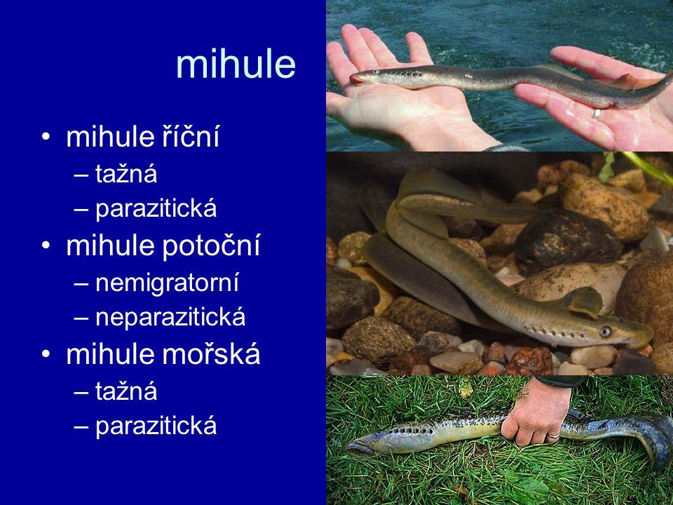 mihule mihule říční mihule potoční mihule mořská tažná parazitická