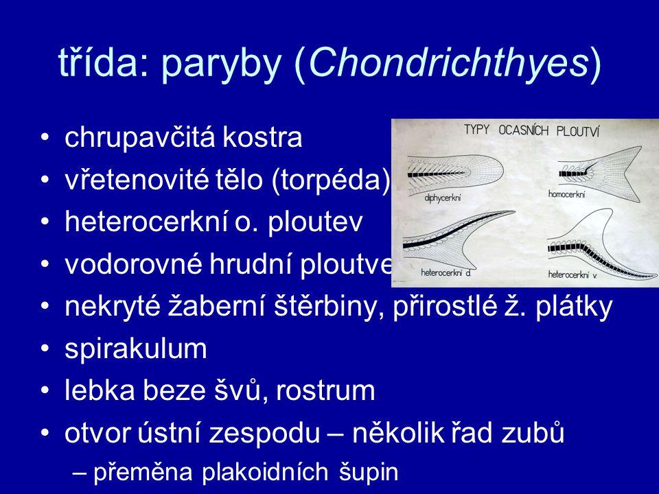 třída: paryby (Chondrichthyes)