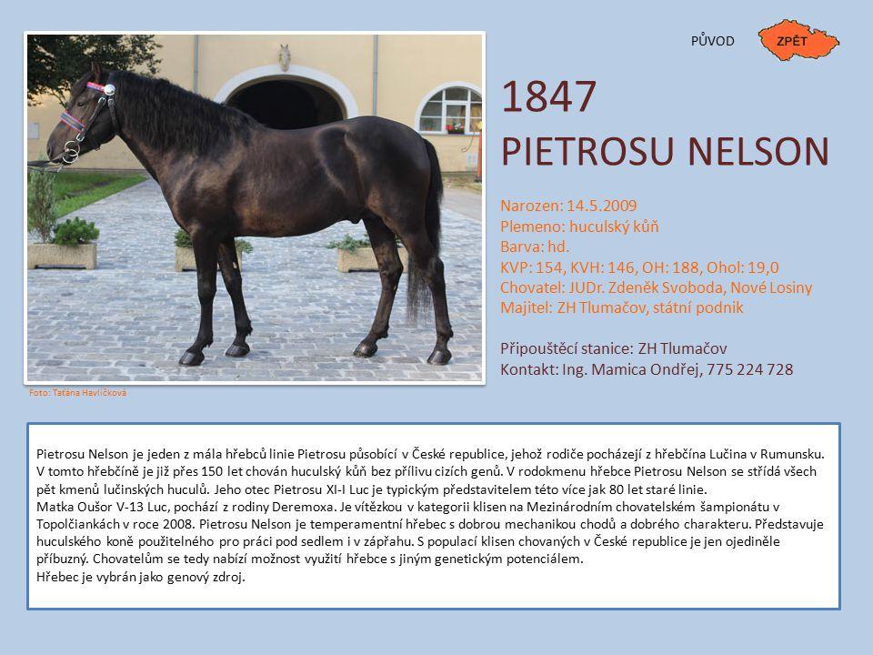 1847 PIETROSU NELSON Narozen: 14.5.2009 Plemeno: huculský kůň