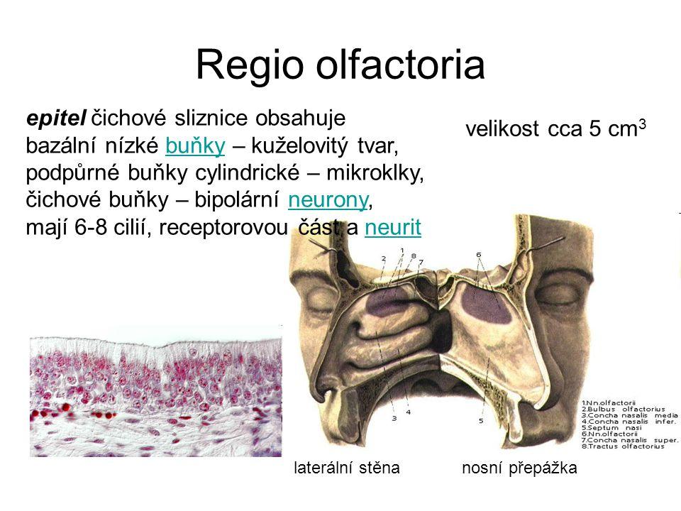 Regio olfactoria epitel čichové sliznice obsahuje velikost cca 5 cm3