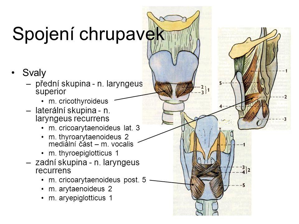 Spojení chrupavek Svaly přední skupina - n. laryngeus superior