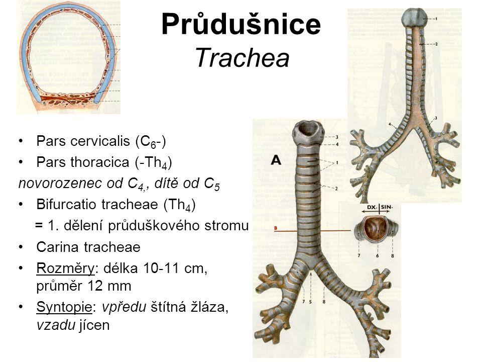 Průdušnice Trachea Pars cervicalis (C6-) Pars thoracica (-Th4)