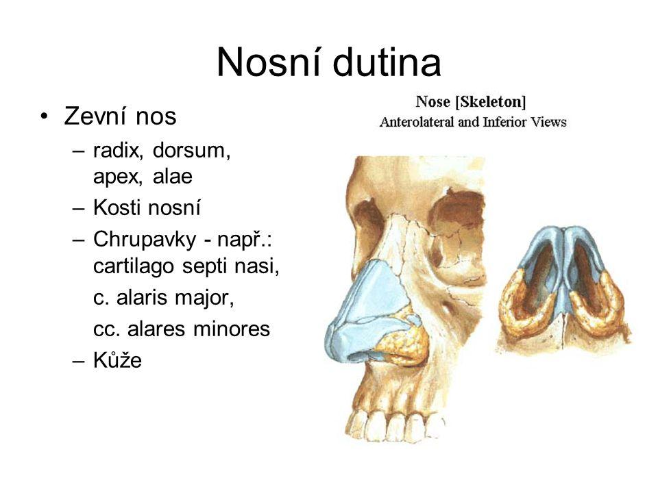 Nosní dutina Zevní nos radix, dorsum, apex, alae Kosti nosní