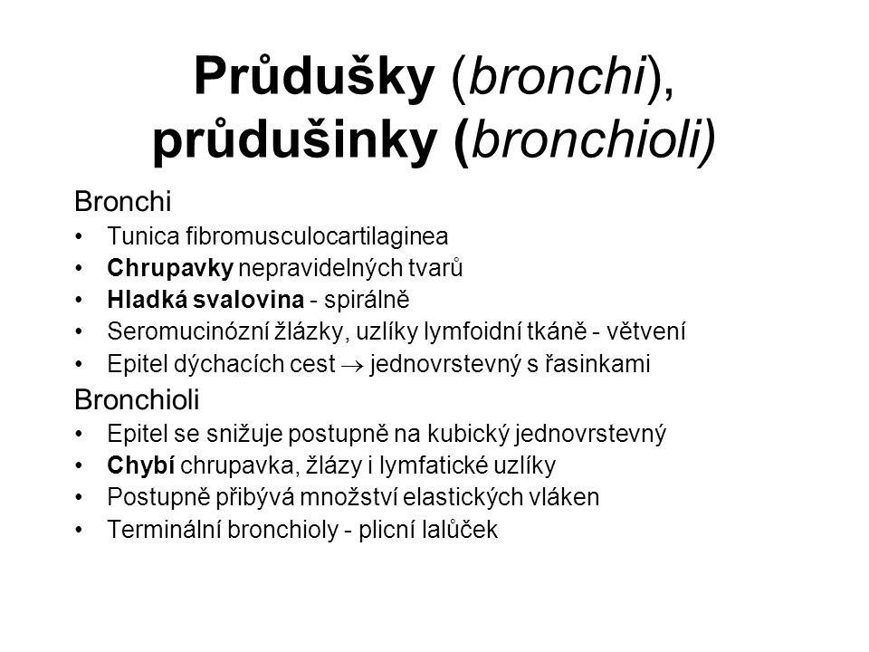 Průdušky (bronchi), průdušinky (bronchioli)