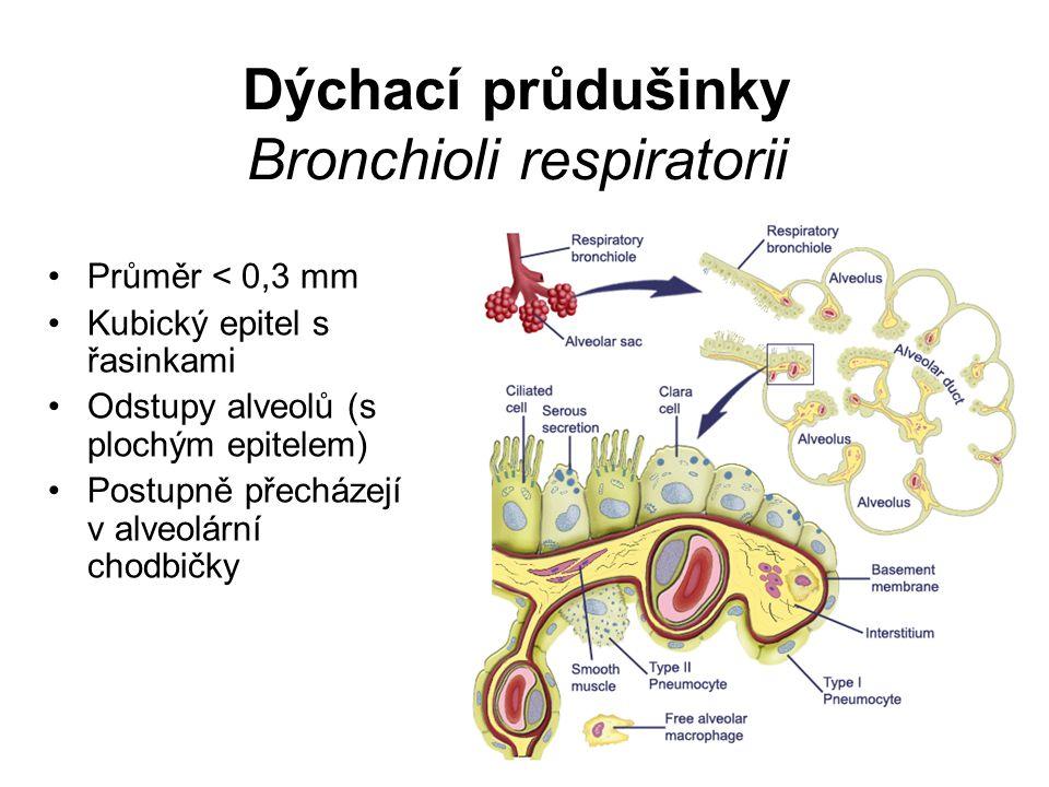 Dýchací průdušinky Bronchioli respiratorii