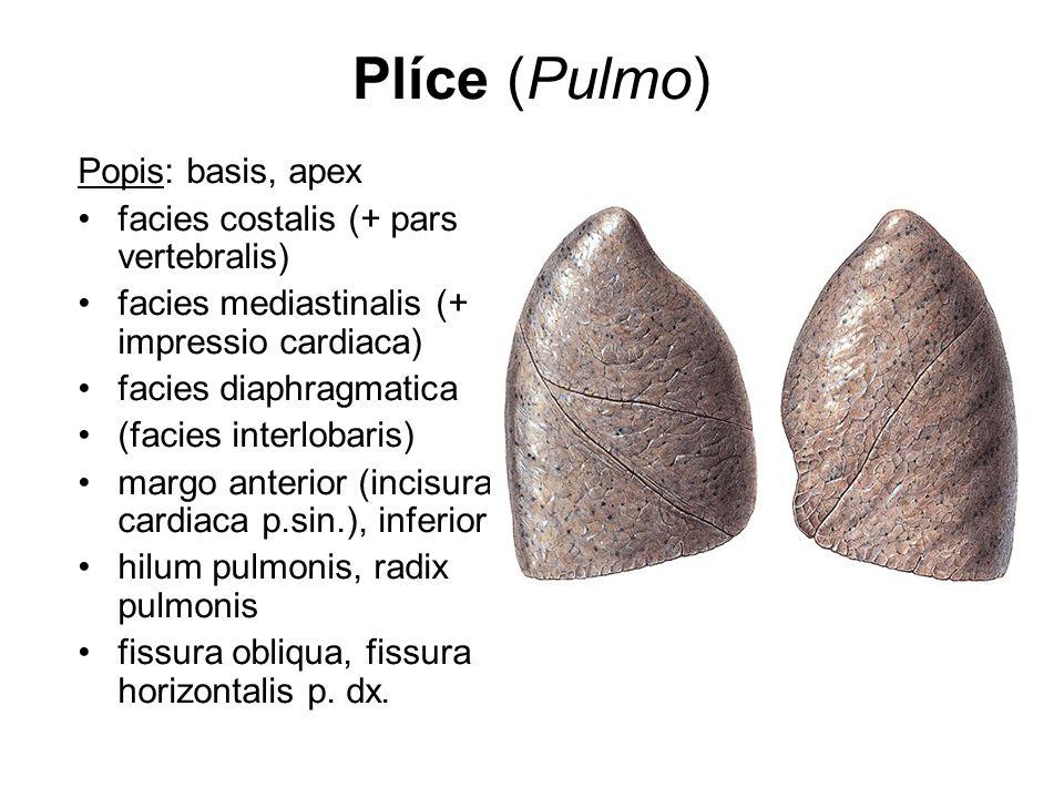 Plíce (Pulmo) Popis: basis, apex facies costalis (+ pars vertebralis)