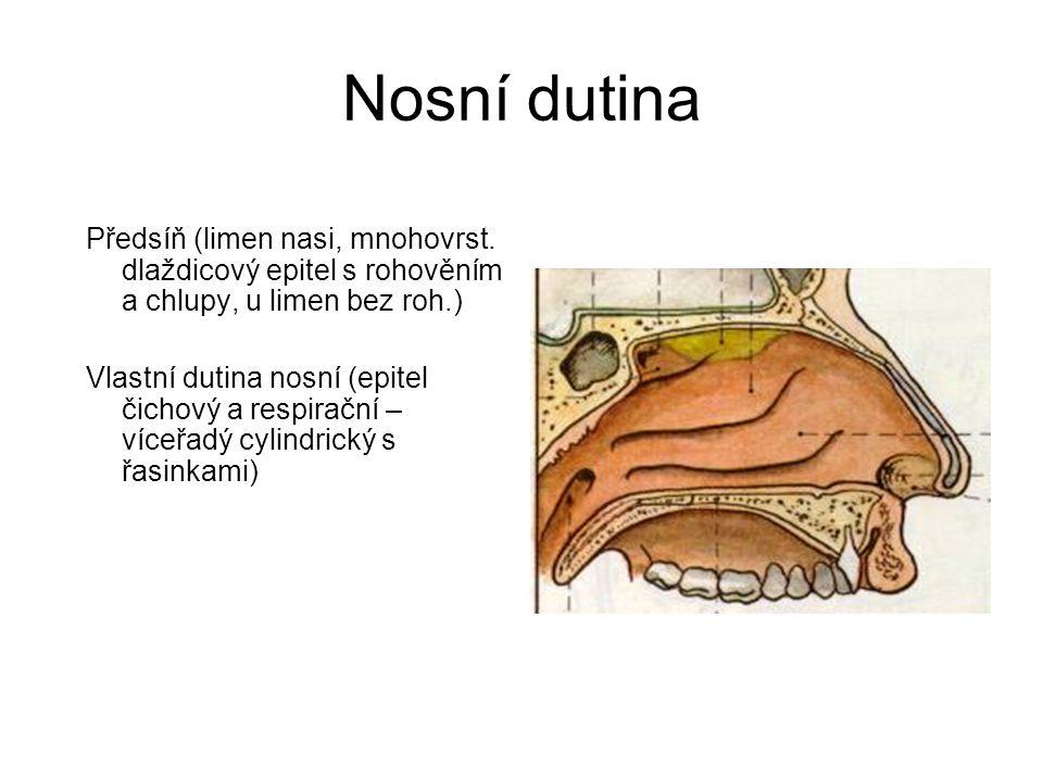 Nosní dutina Předsíň (limen nasi, mnohovrst. dlaždicový epitel s rohověním a chlupy, u limen bez roh.)